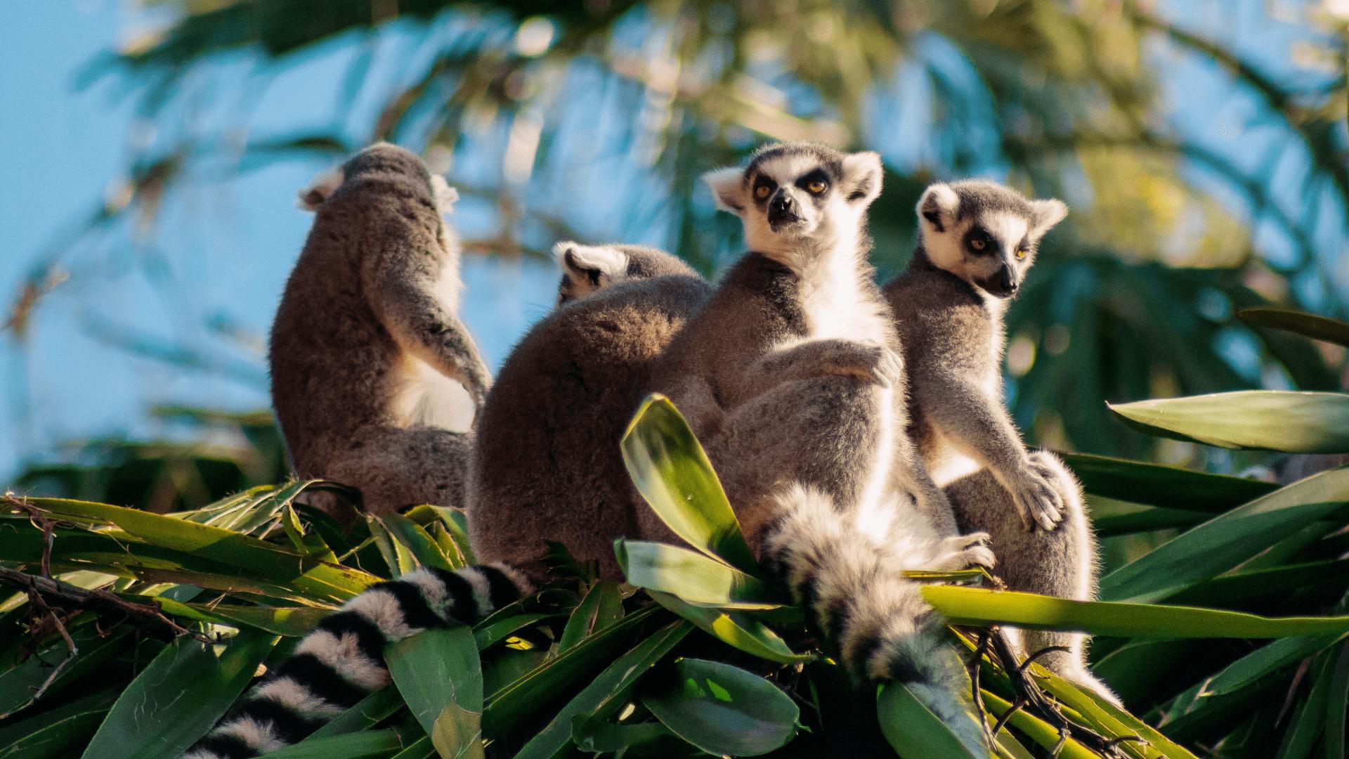 Lemūrai – Madagaskaro salos gyventojai