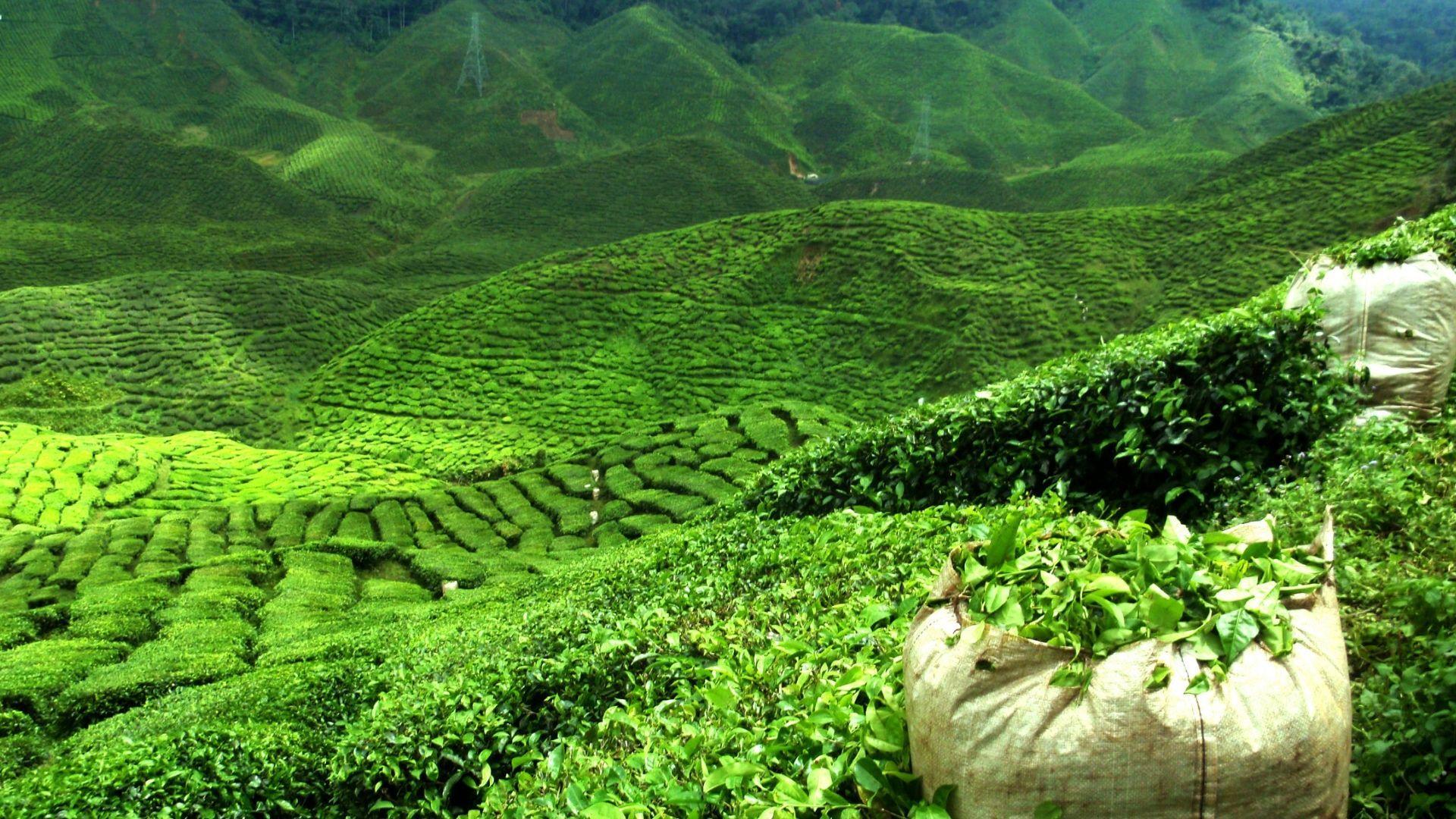 Indiją garsinančios arbatos plantacijos