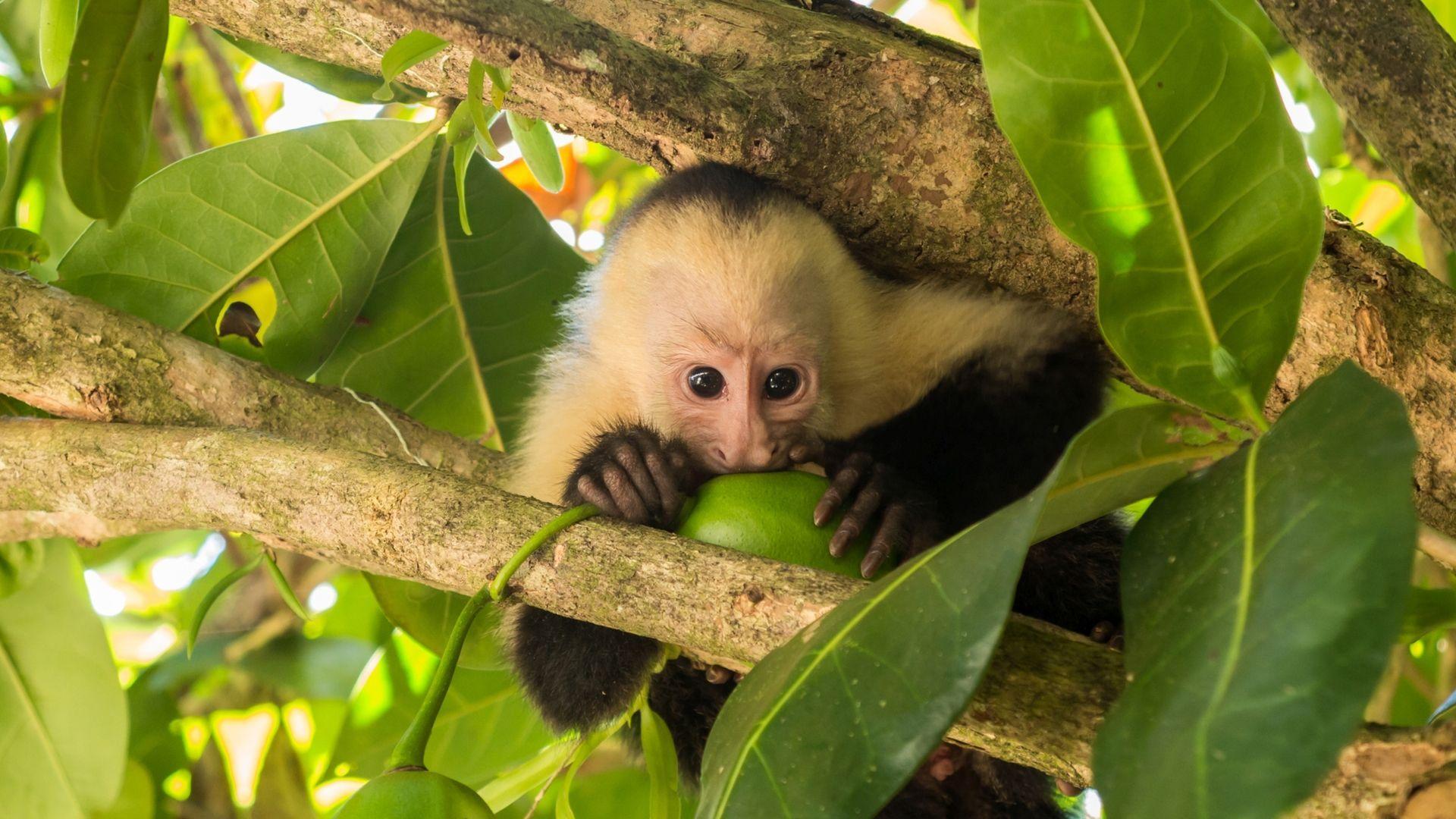 Baltaveidžiai kapucinai – Kosta Rikos gyventojai