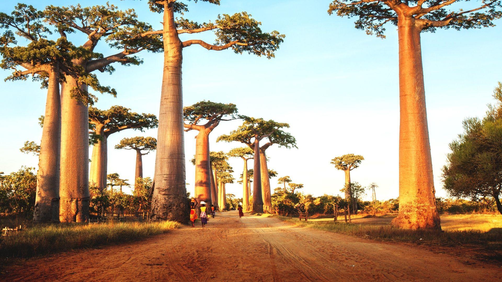 Baobabai - didžiausi pasaulyje medžiai