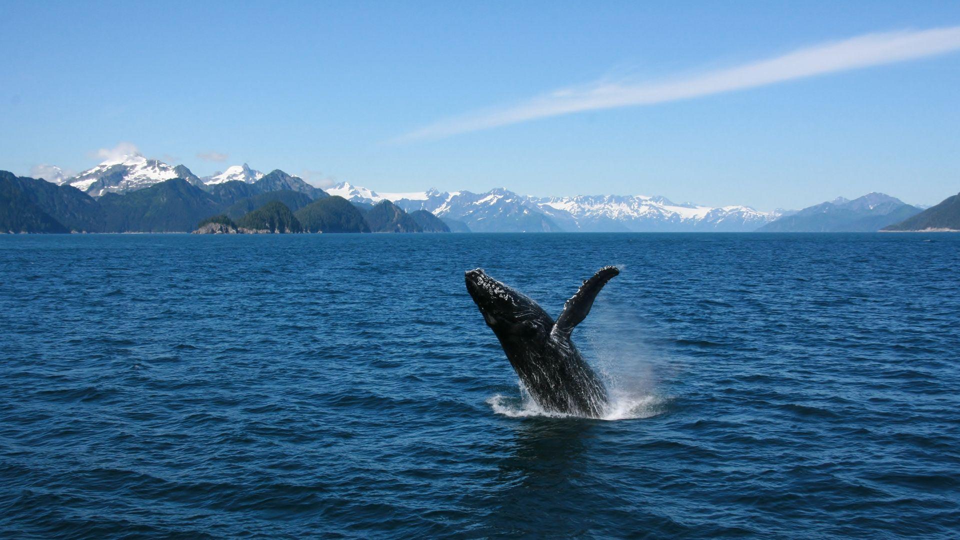 Banginis - dažnas Aliaskos pakrančių lankytojas
