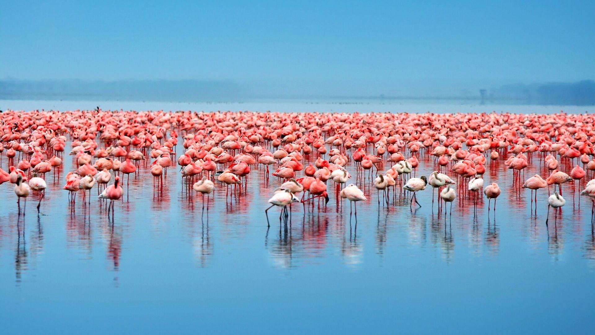 Flamingai Nakuru ežere