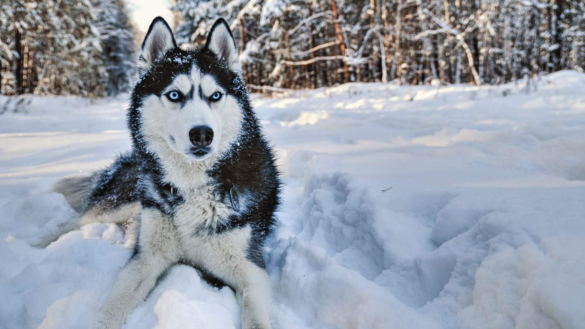 Haskiai - itin populiari šunų veislė sniegingo klimato kraštuose
