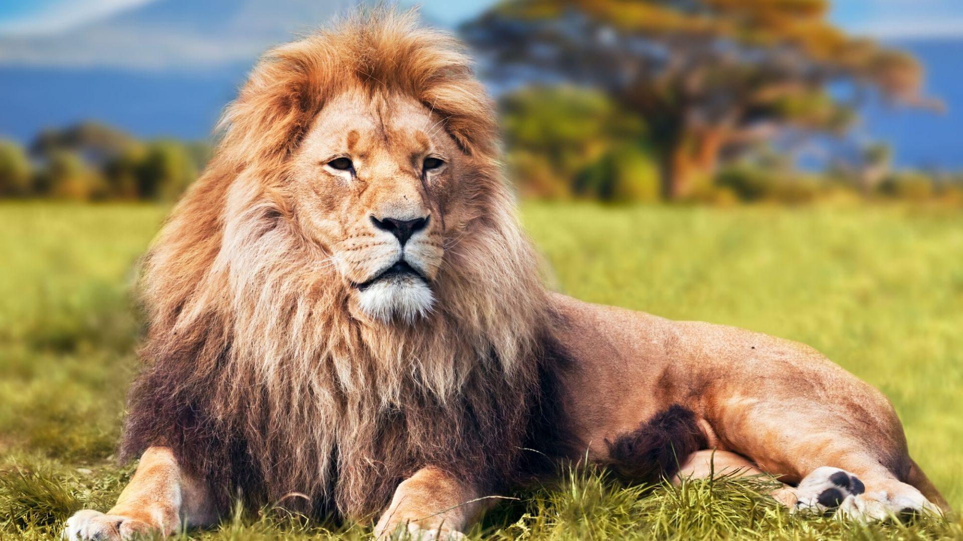 Kenijos savanose galbūt pasiseks pamatyti liūtų