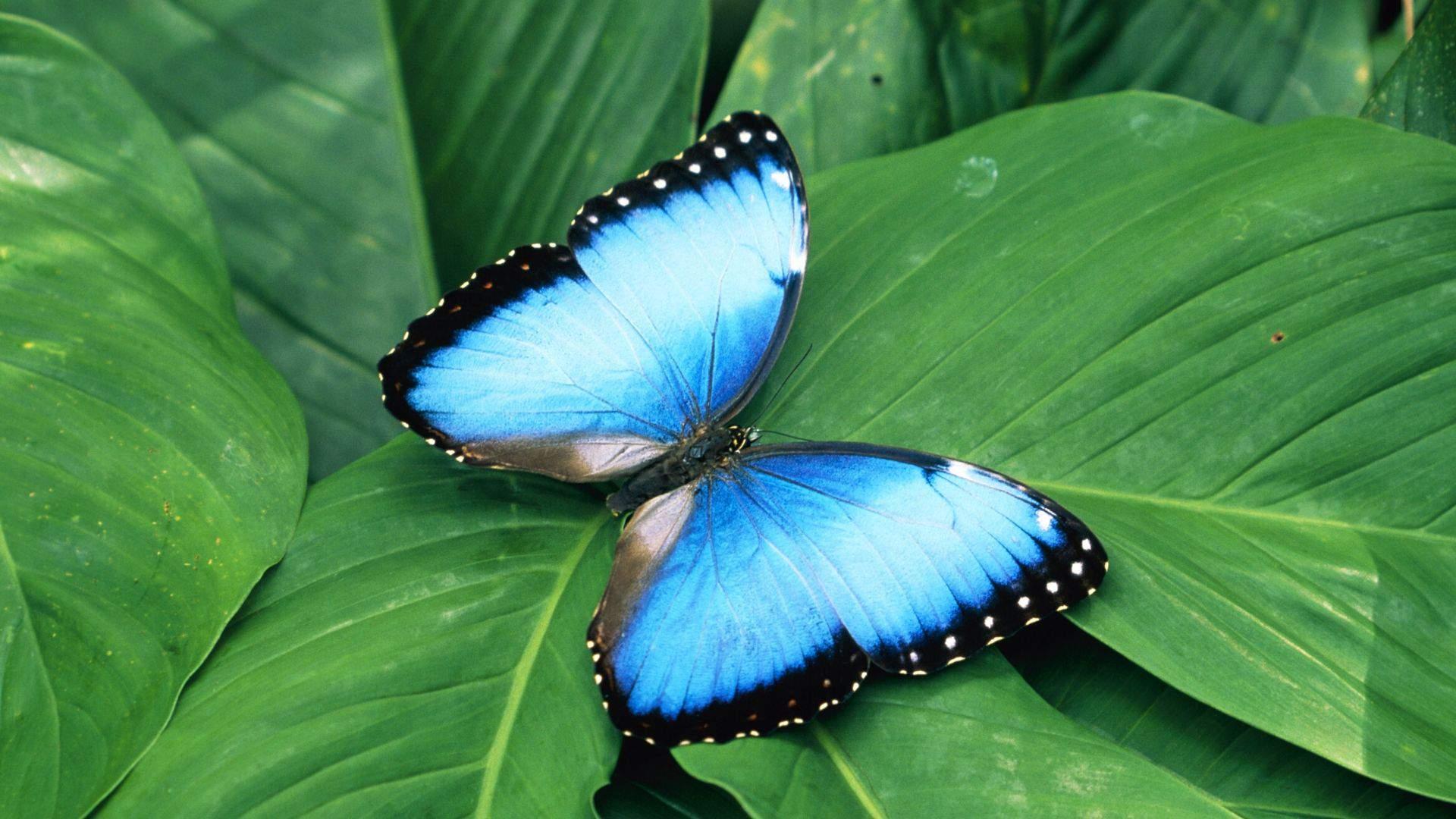 Kosta Rikoje skraido mėlynieji Morpho drugeliai, būdingi tik šiam regionui