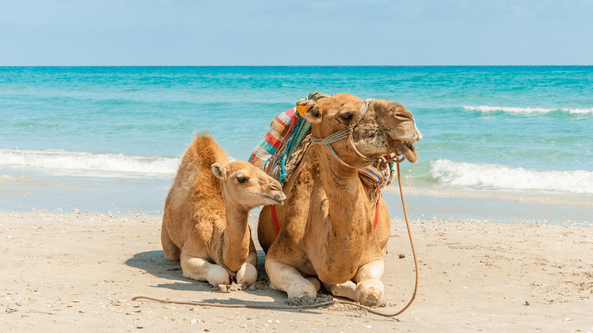 Kupranugariai Mahdijos paplūdimyje