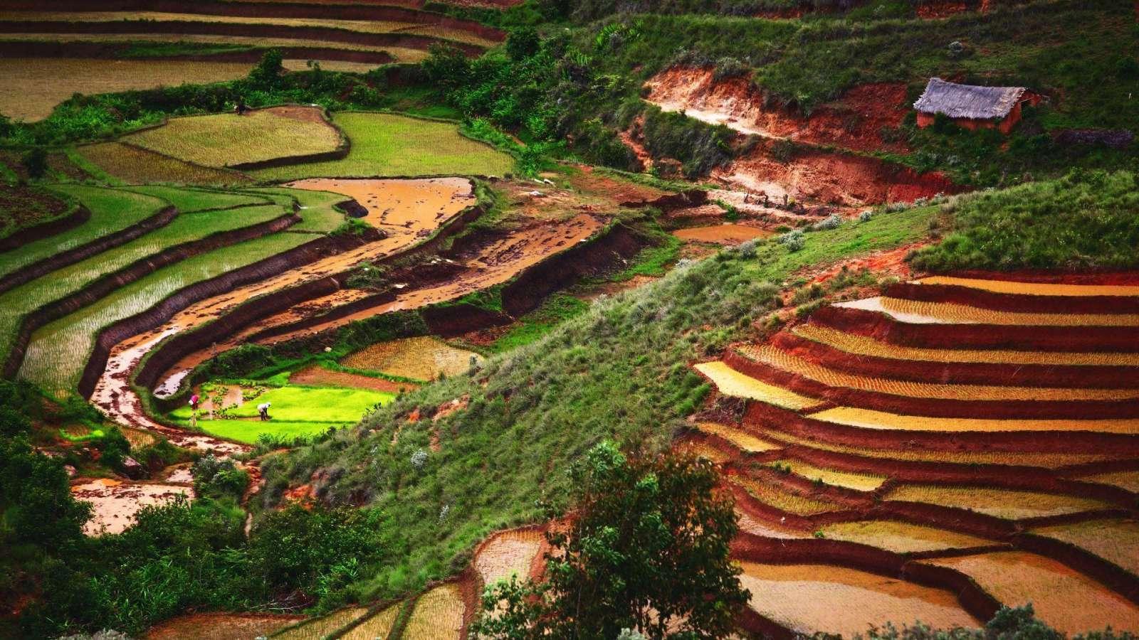 Ryžių terasos Madagaskare