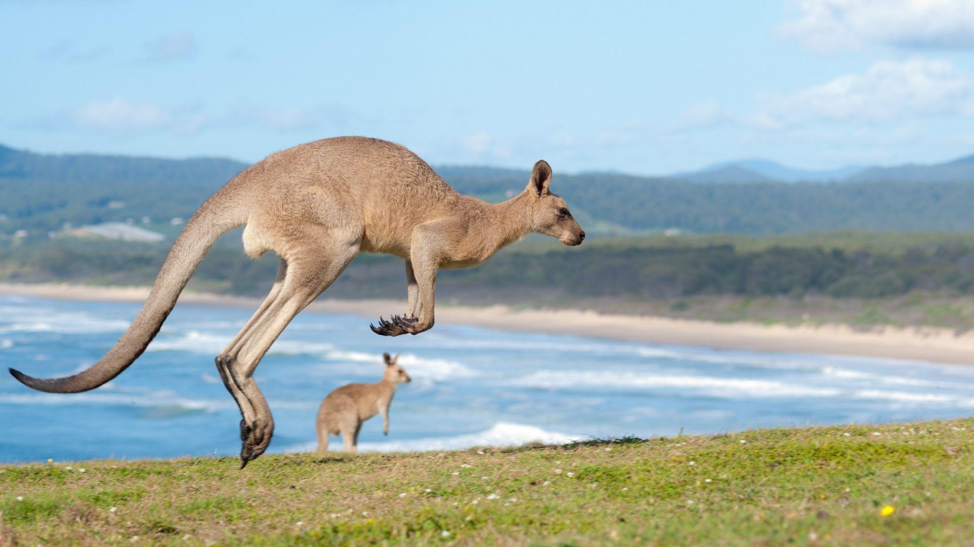 Pamatykite Australijoje gyvenančias kengūras