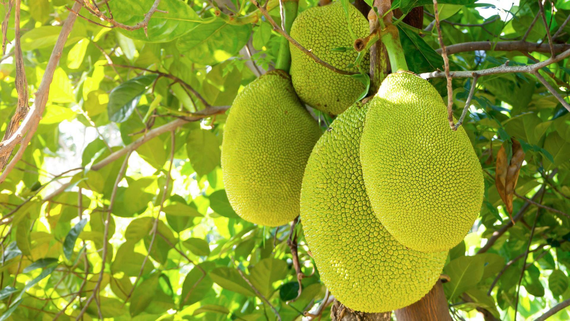 Poilsiaudami Jamaikoje paragaukite egzotiškojo duonvaisio