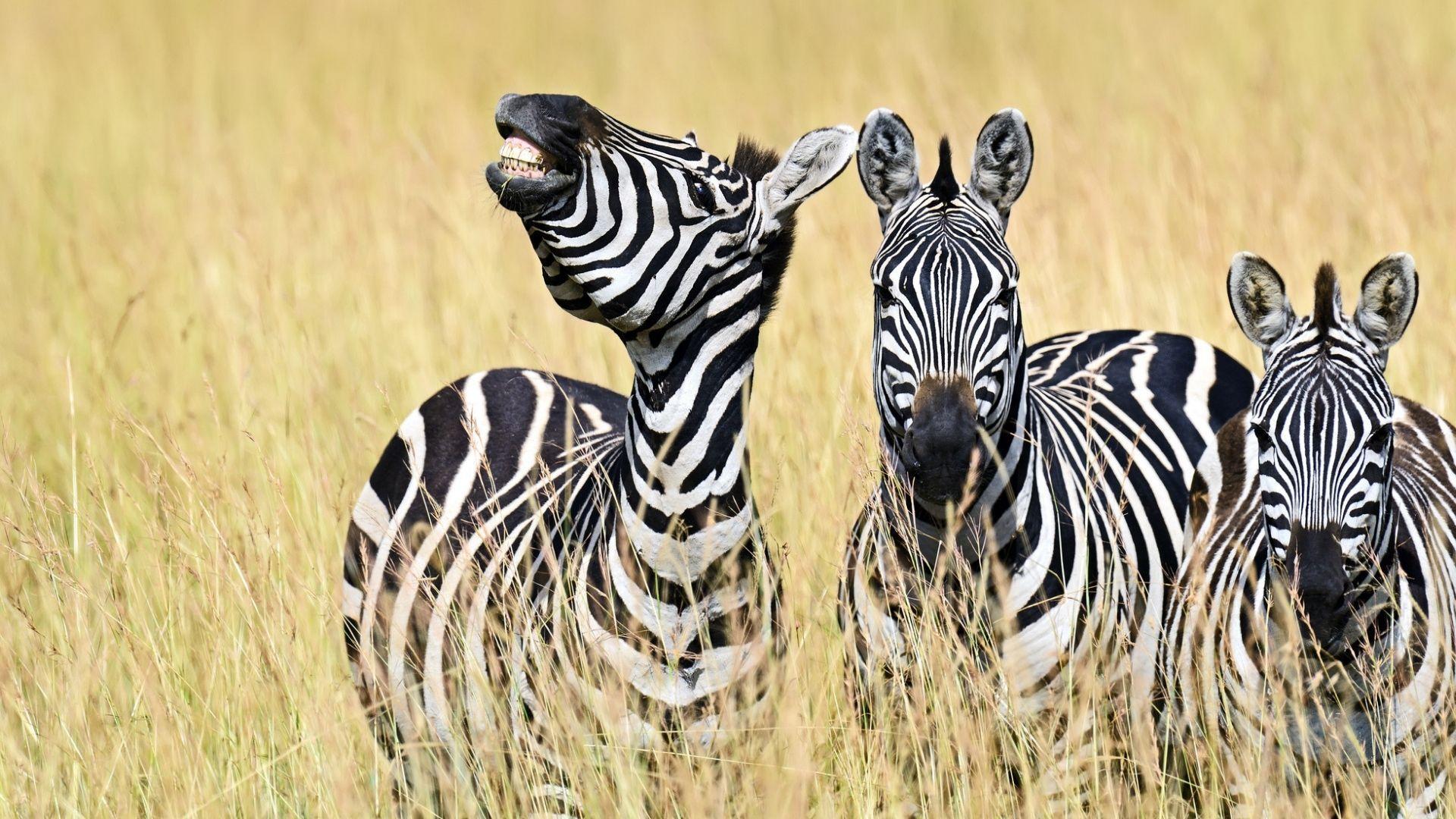 Serengeti pramogų parke gyvenantys zebrai