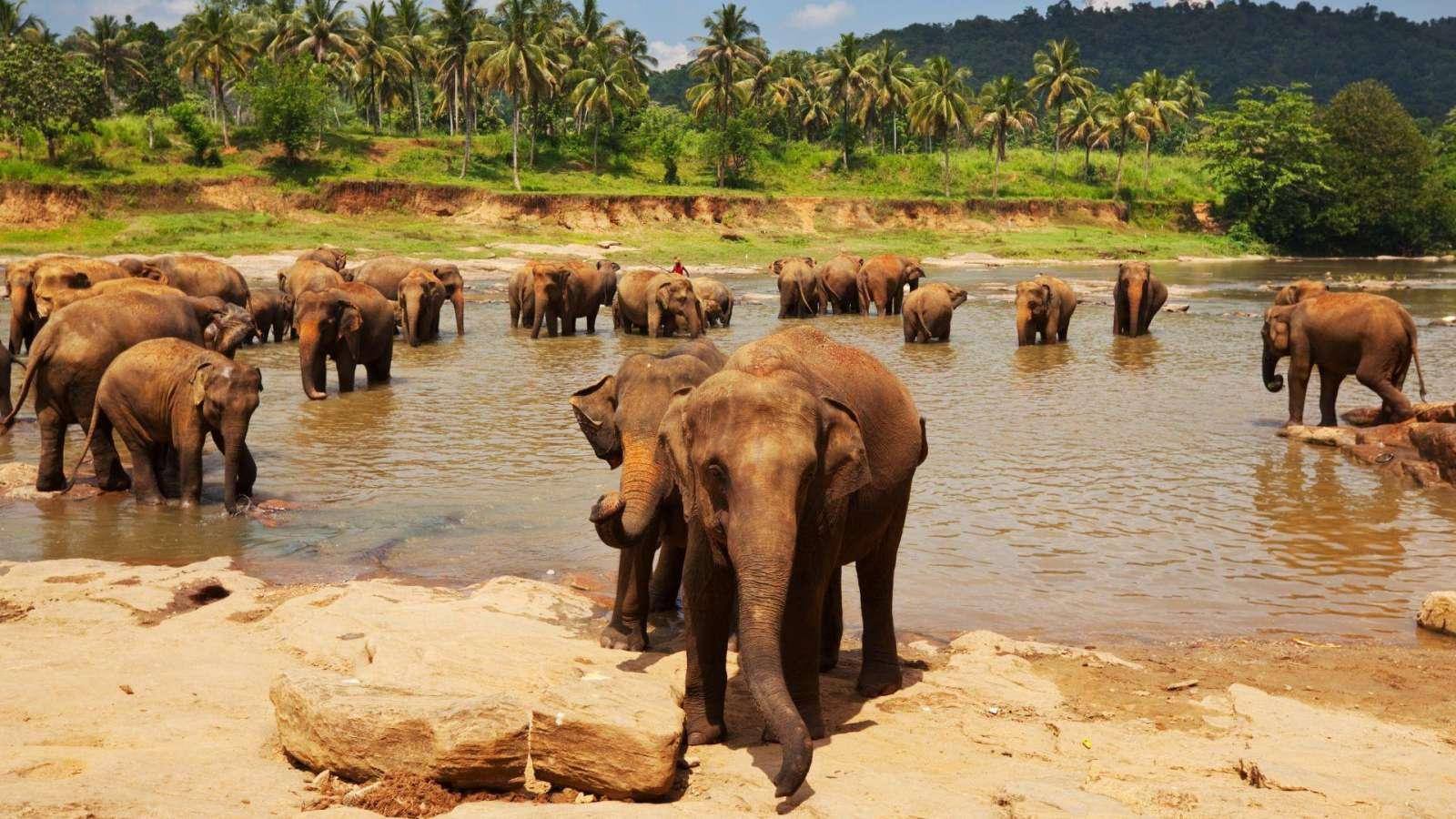 Šri Lankoje dažnai sutinkami drambliai