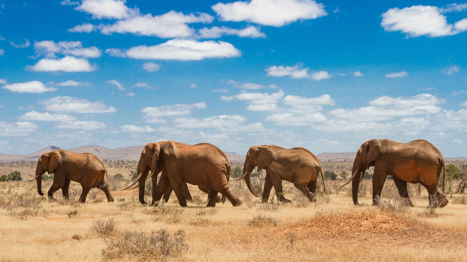 Tsavo nacionaliniame parke stebėkite dramblius