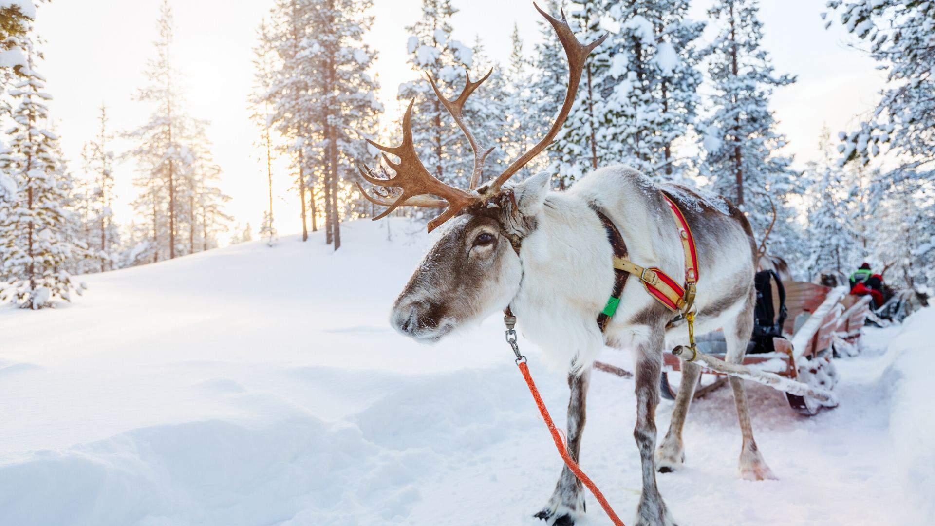 Unikali patirtis kelionės į Laplandiją metu - elnių tempiamų kinkinių safaris