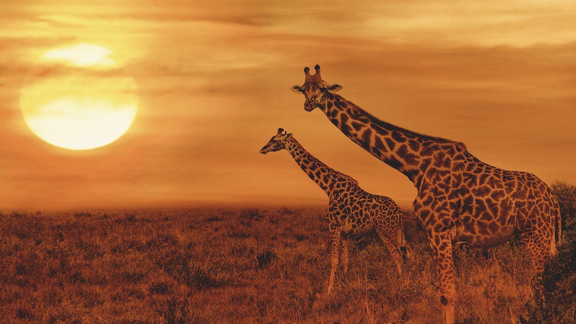 Didžiojo Afrikos penketo gyvūnai – žirafos
